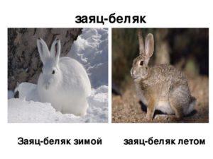 Заяц-беляк летом и зимой