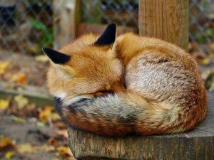 Лисица спит, обернувшись хвостом