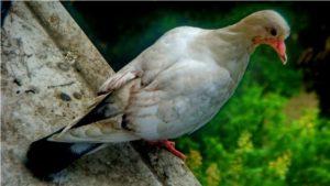 Молодой голубь