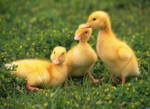 желтые гусята