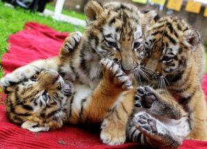 полосатые тигрята