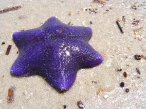 морская звезда с 6 лучами