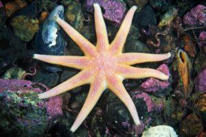 морская звезда с 9 лучами