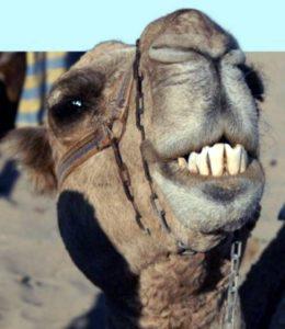 зубы верблюда