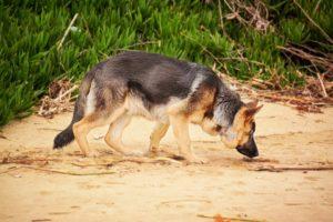 собака ищет по запаху