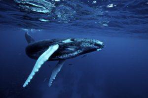 Почему кит выпускает фонтан?