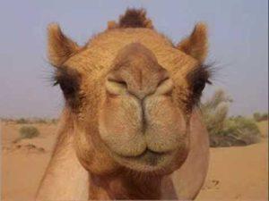 ресницы верблюда очень пышные