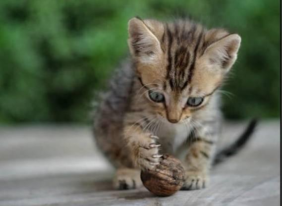 Котенок и орех